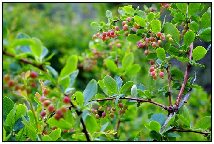 草原民族野菜野果的食用价值